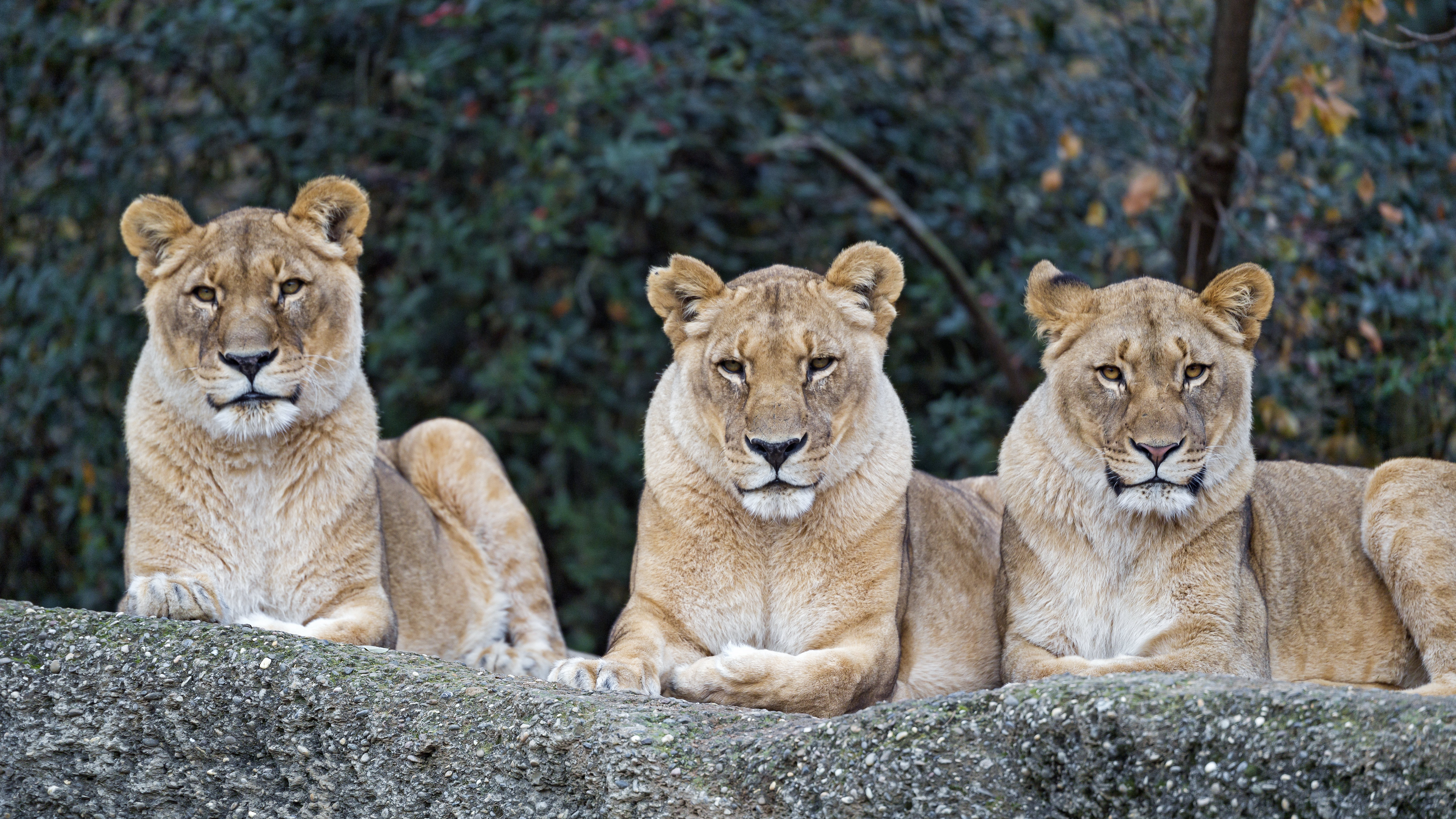109508 download wallpaper Animals, Lioness, Big Cat, Predator, Sight, Opinion screensavers and pictures for free