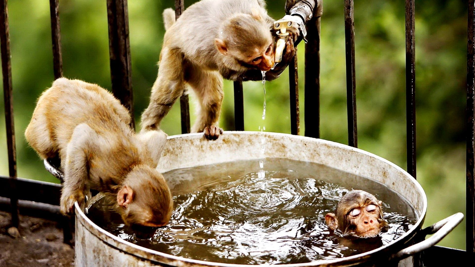 67271 Screensavers and Wallpapers Monkeys for phone. Download Animals, Water, Monkeys, Drink, Thirst, Bathe pictures for free