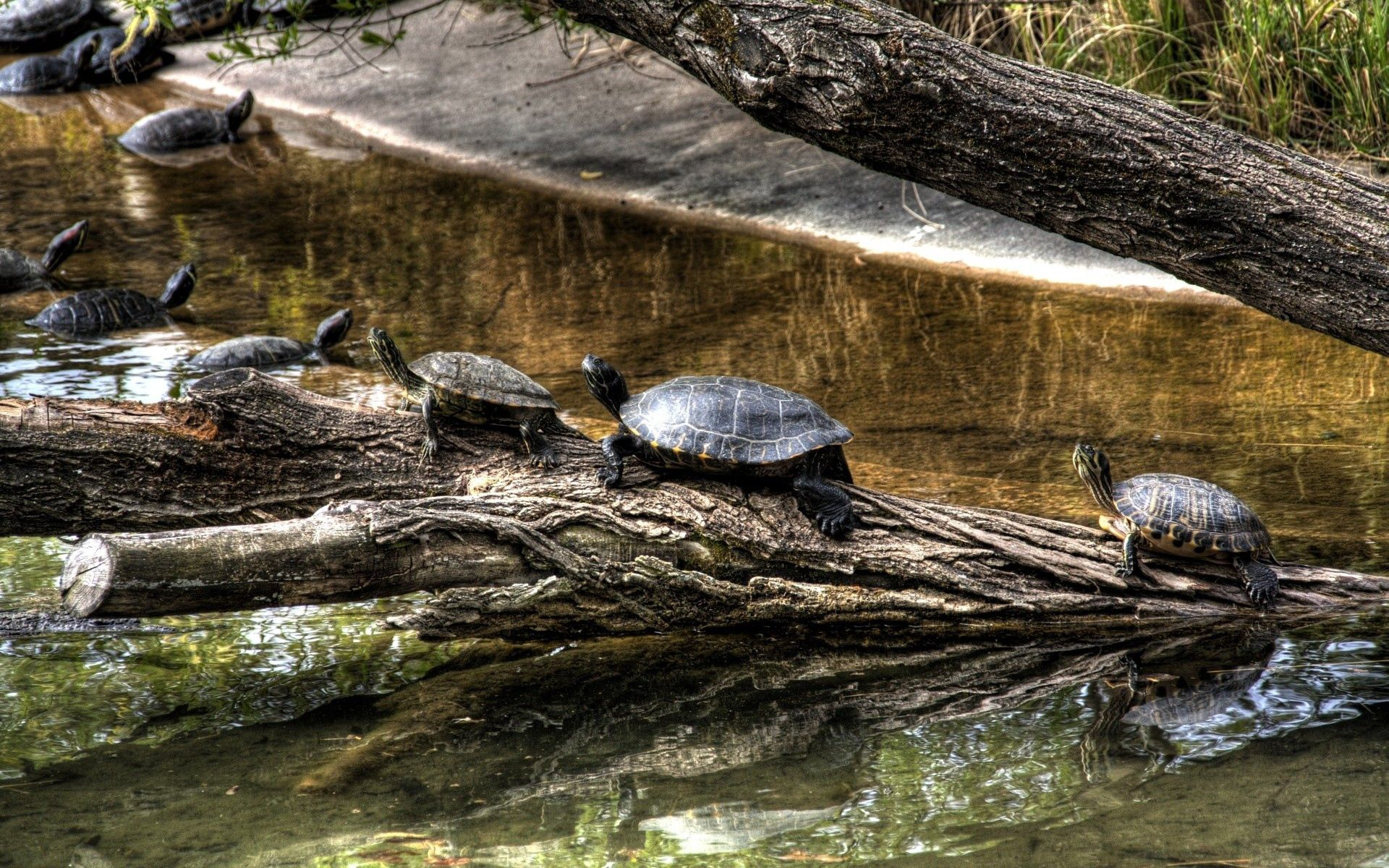 95598 download wallpaper Animals, Nature, Rivers, Turtles, Wood, Tree, Crawl, Carapace, Shell screensavers and pictures for free