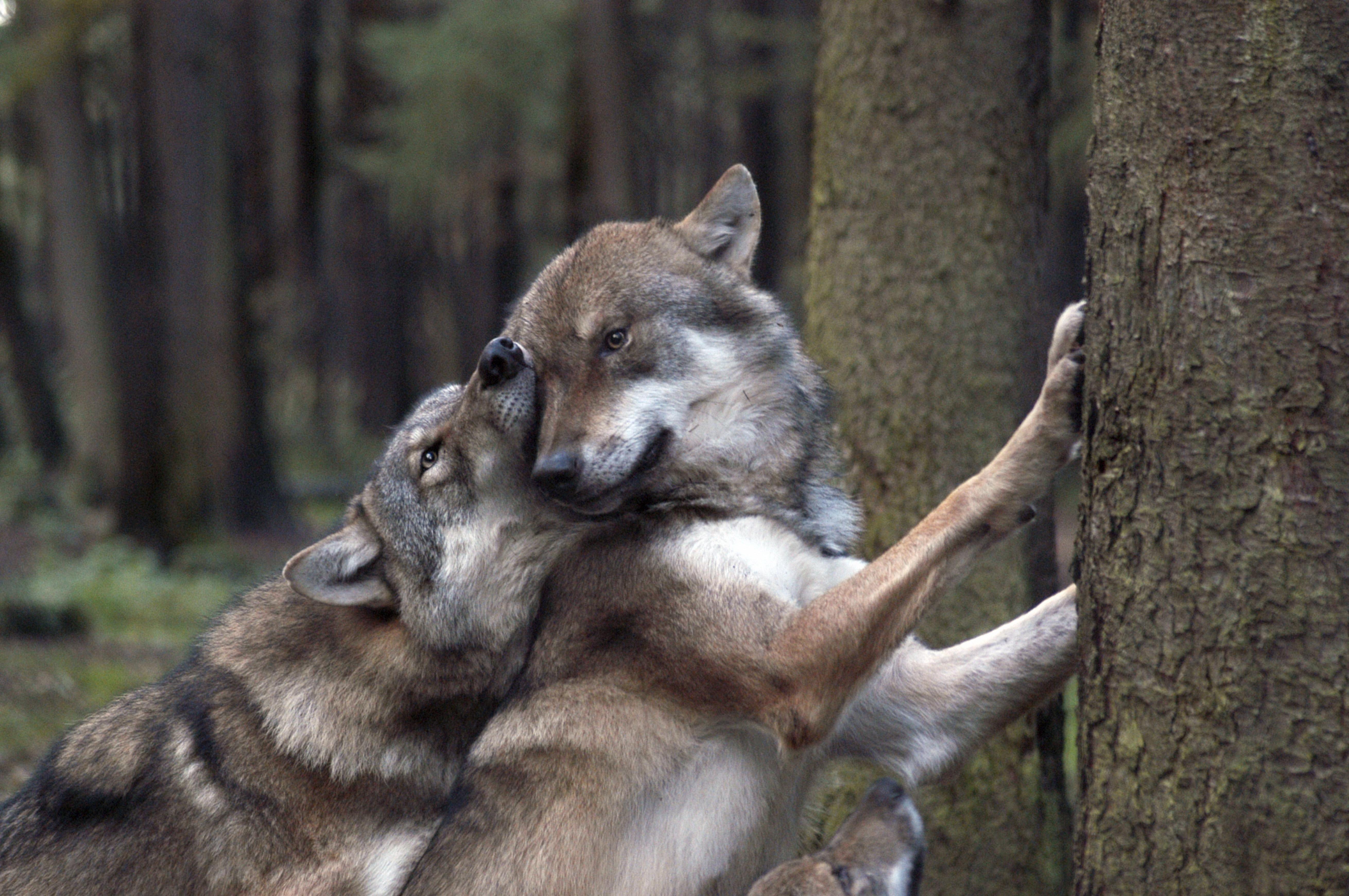 156768 Hintergrundbild herunterladen Spiele, Tiere, Wölfe, Wald - Bildschirmschoner und Bilder kostenlos