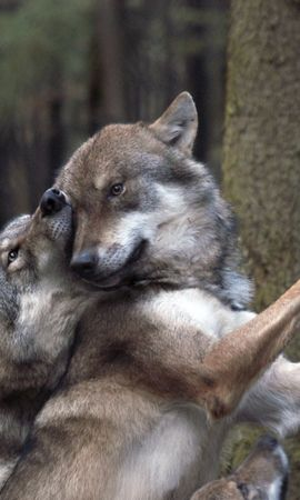 156768 download wallpaper Animals, Wolfs, Forest, Games screensavers and pictures for free