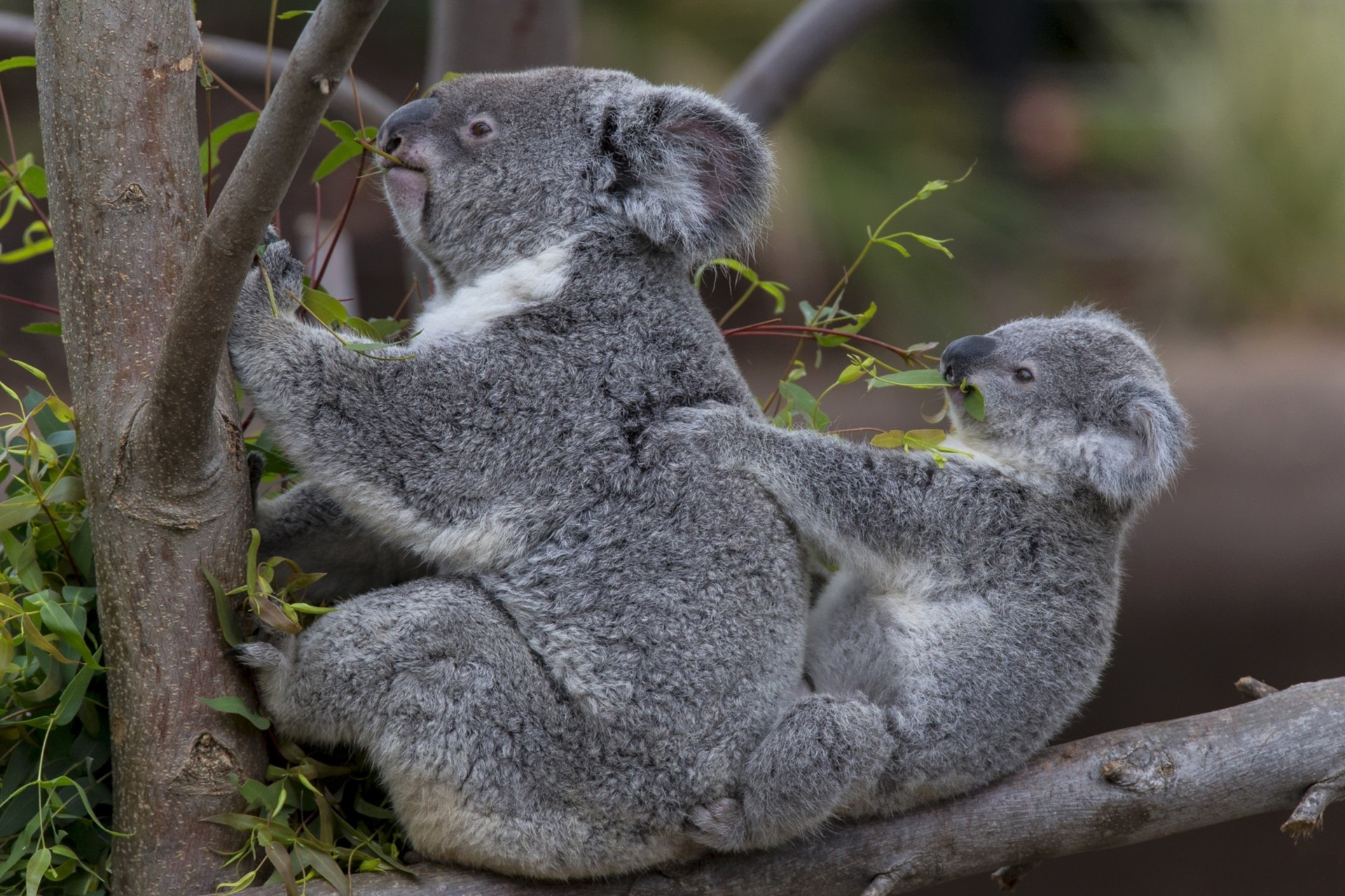 62048 download wallpaper Animals, Koalas, Wood, Young, Couple, Pair, Tree, Joey screensavers and pictures for free