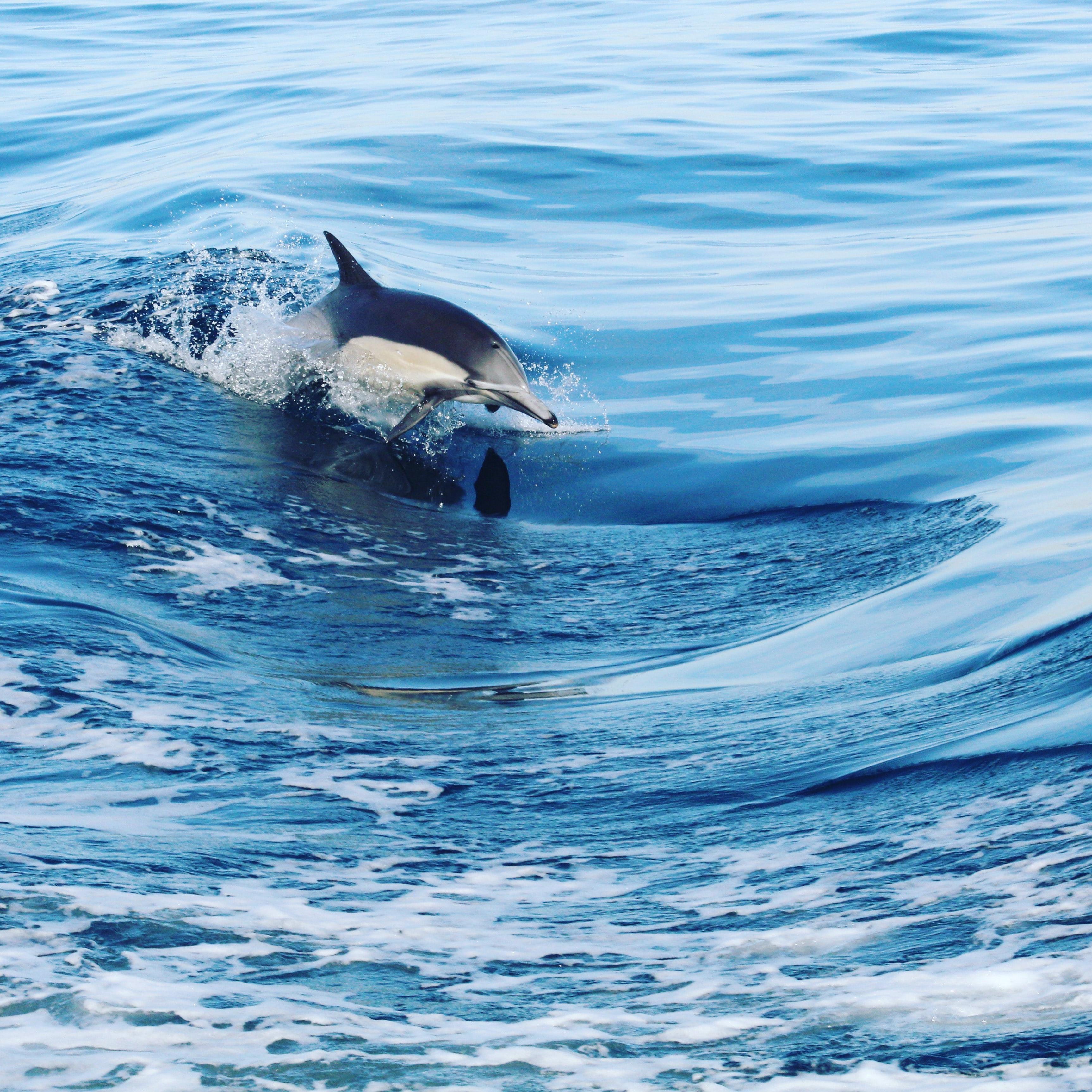 60845 Hintergrundbild herunterladen Waves, Tiere, Wasser, Sprühen, Spray, Delfin - Bildschirmschoner und Bilder kostenlos