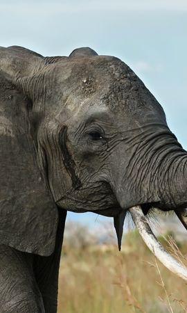 154614 скачать обои Животные, Слон, Бивни, Хобот, Африка, Саванна - заставки и картинки бесплатно