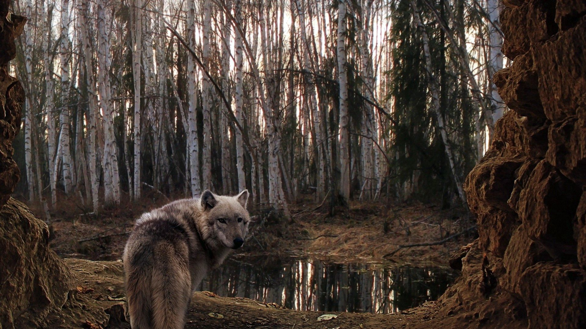 67600 download wallpaper Animals, Wolf, Forest, Trees, Mainly Cloudy, Overcast screensavers and pictures for free
