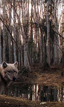 67600 télécharger le fond d'écran Animaux, Loup, Forêt, Arbres, Plutôt Nuageux, Couvert - économiseurs d'écran et images gratuitement