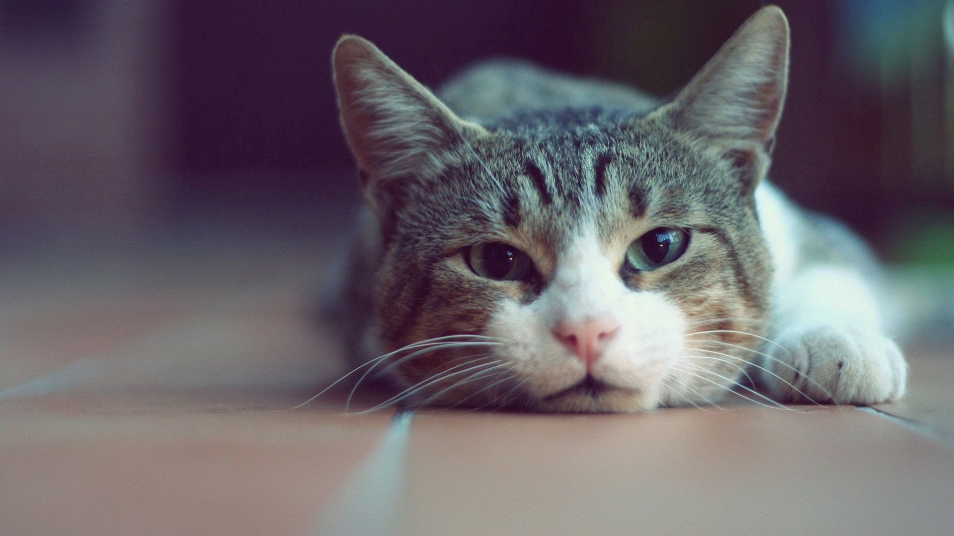 93925 download wallpaper Animals, Cat, To Lie Down, Lie, Muzzle, Relaxation, Rest screensavers and pictures for free
