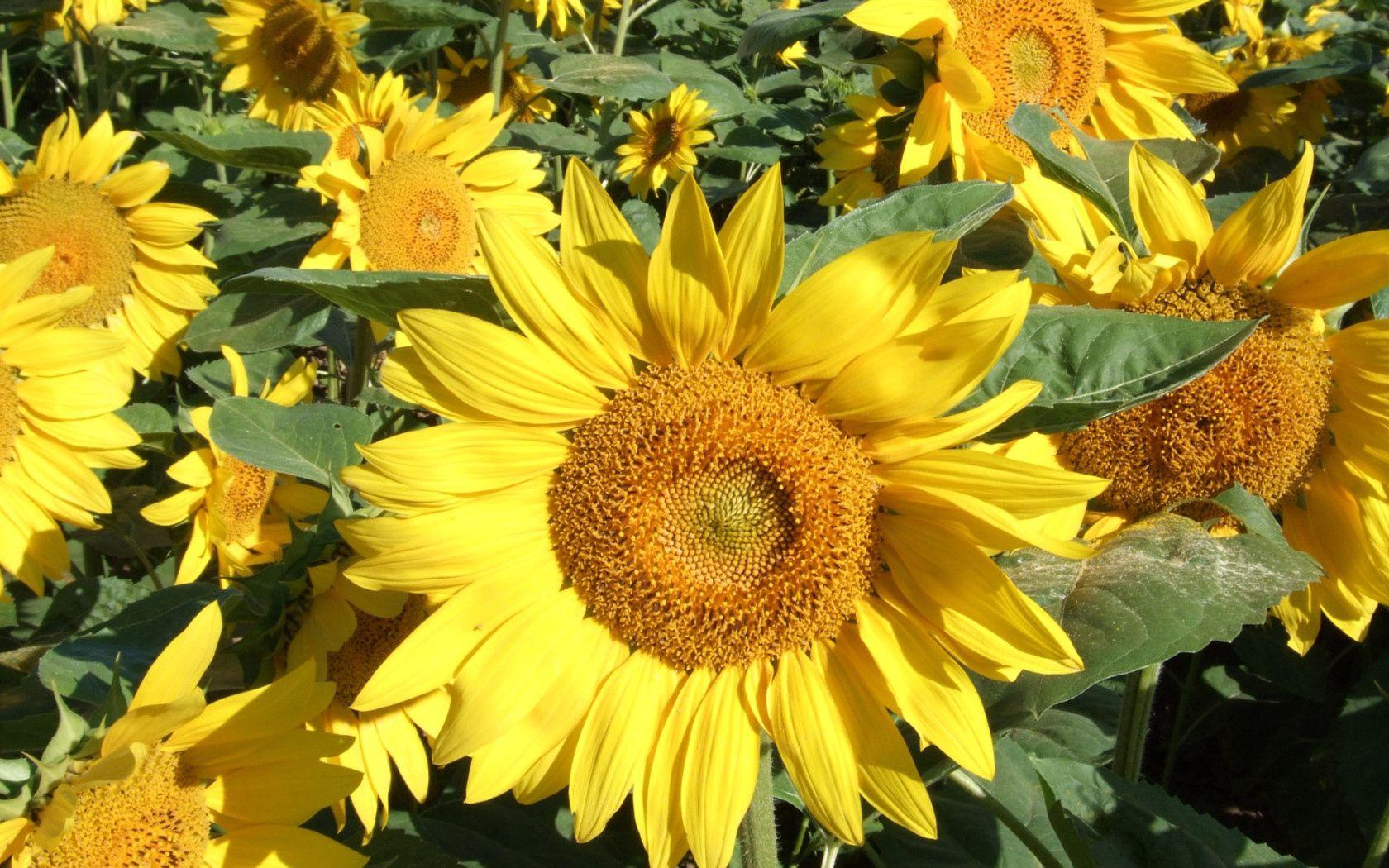 101133 скачать обои Цветы, Подсолнухи, Зелень, Поле, Крупный План, Солнечно - заставки и картинки бесплатно