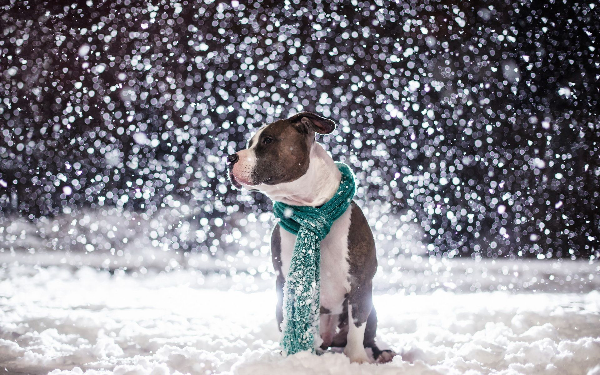 108430 Screensavers and Wallpapers Scarf for phone. Download Animals, Snow, Dog, Friend, Scarf pictures for free