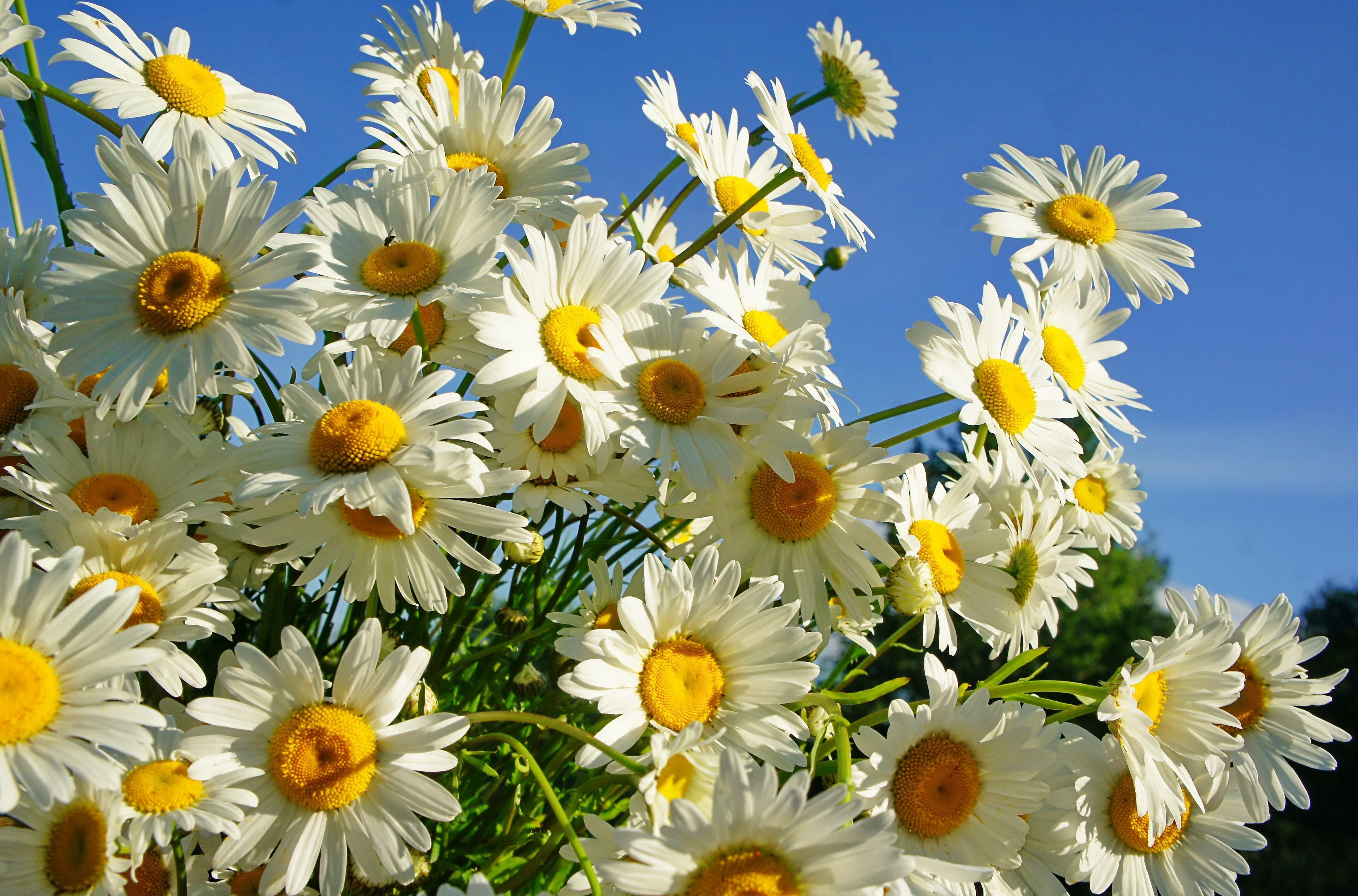 157148 Заставки и Обои Ромашки на телефон. Скачать Цветы, Ромашки, Букет, Небо, Солнечно, Лето картинки бесплатно