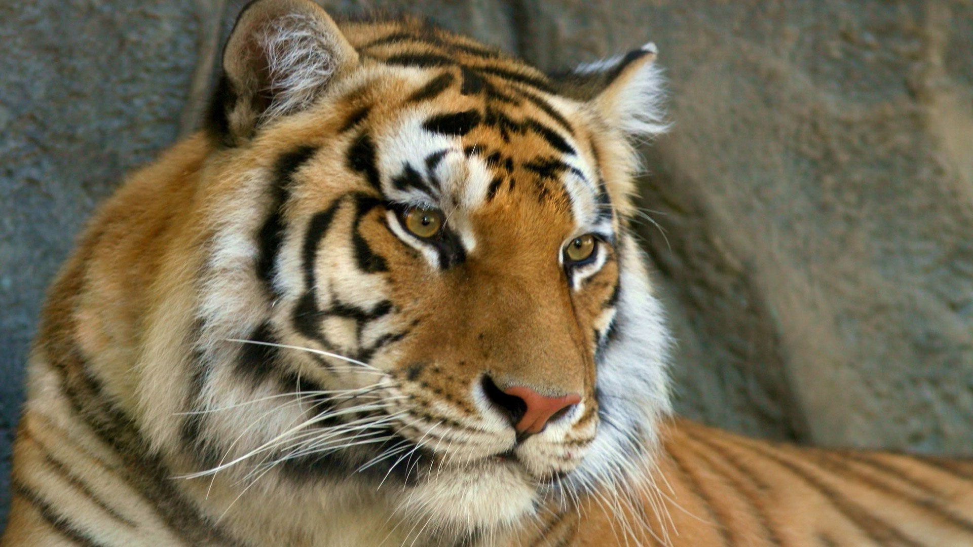 62698 papel de parede 320x480 em seu telefone gratuitamente, baixe imagens Animais, Focinho, Olhos, Olho, Predator, Predador, Tigre, Bigode 320x480 em seu celular