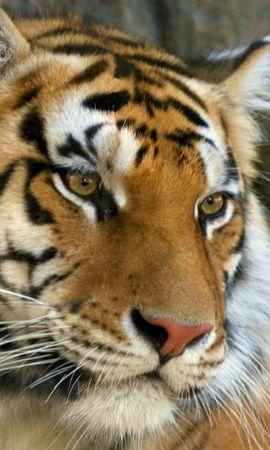 62698 免費下載壁紙 动物, 胡子, 枪口, 莫尔达, 老虎, 虎, 眼睛, 捕食者 屏保和圖片
