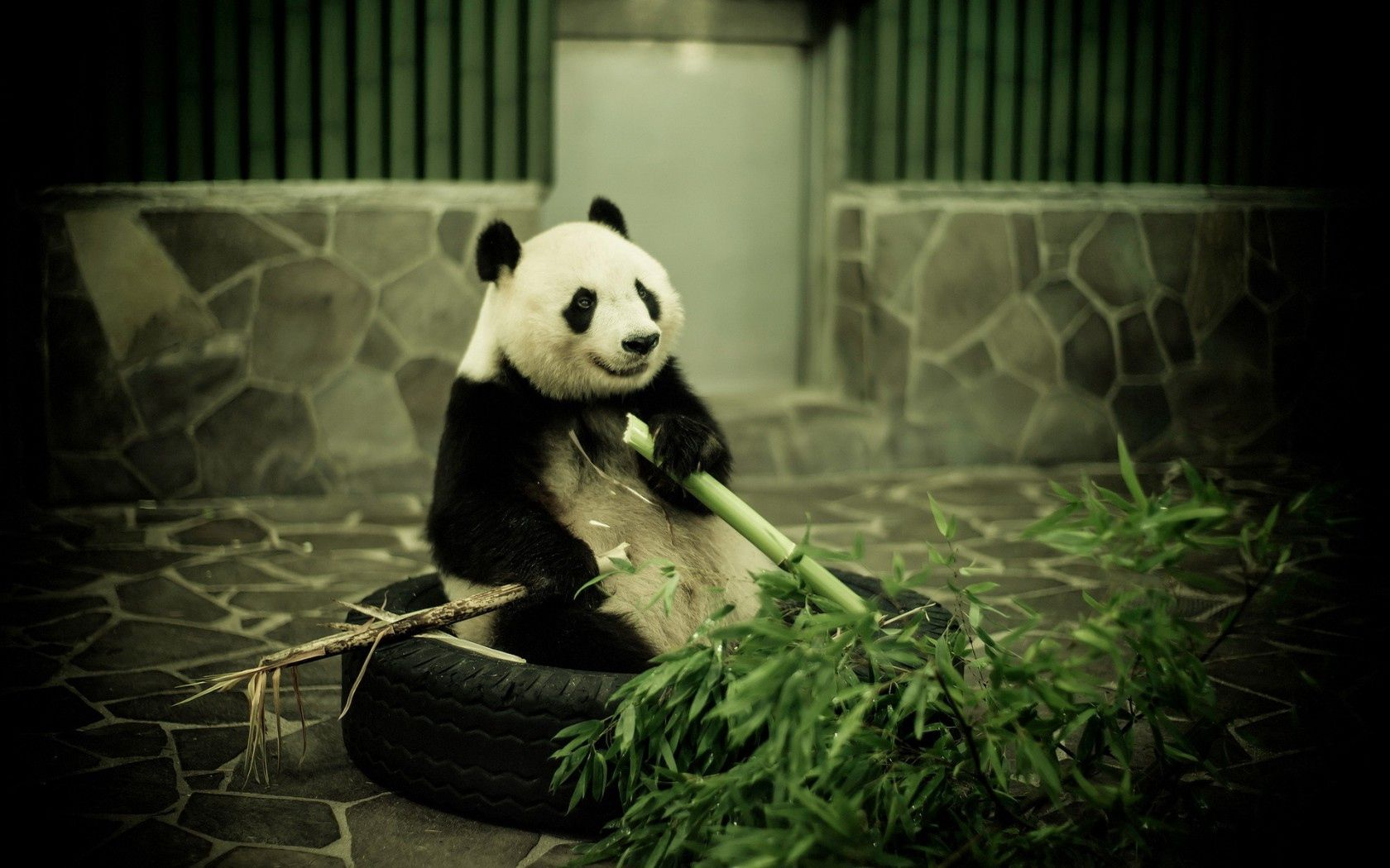 54704 download wallpaper Animals, Panda, Zoo, Bamboo screensavers and pictures for free