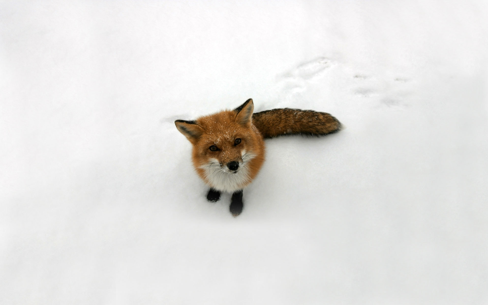 40478 download wallpaper Animals, Fox screensavers and pictures for free