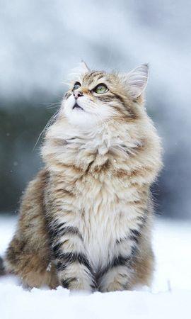 53630 Salvapantallas y fondos de pantalla Nieve en tu teléfono. Descarga imágenes de Animales, Gato, Nieve, Visión, Opinión, Esponjoso, Peludo gratis