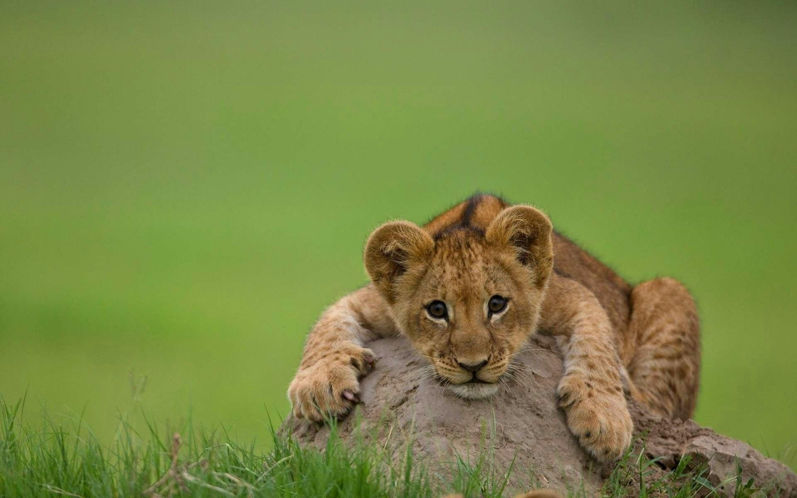 118621 download wallpaper Animals, Lion Cub, Lion, Young, Joey, Rock, Stone, To Lie Down, Lie screensavers and pictures for free