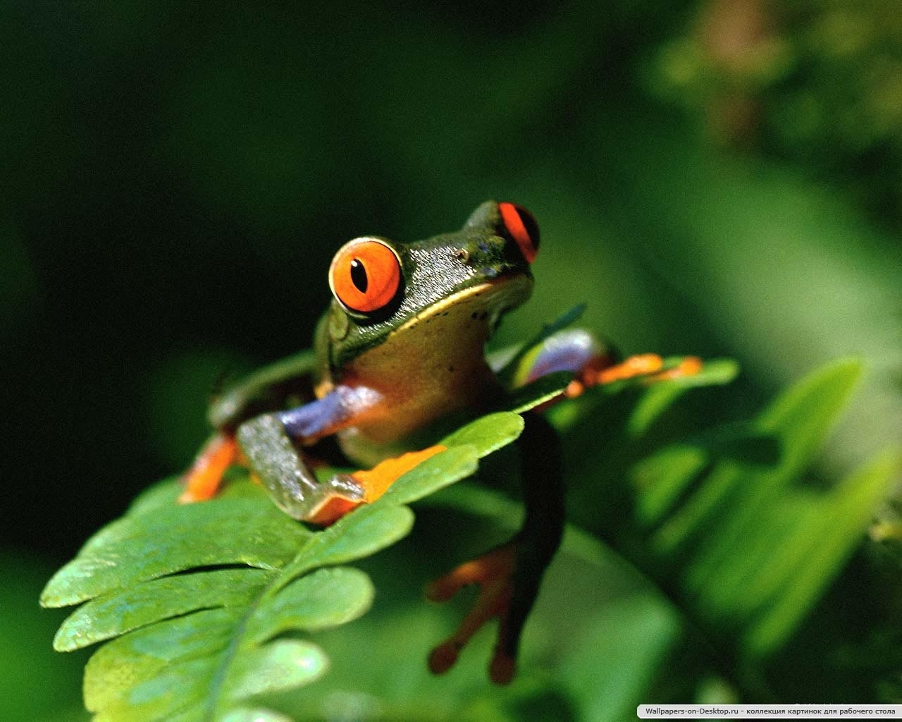 9790 download wallpaper Animals, Frogs screensavers and pictures for free
