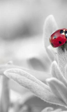 お使いの携帯電話の122788スクリーンセーバーと壁紙昆虫。 大きい, マクロ, てんとう虫, 天道虫, 昆虫, 花, 花びらの写真を無料でダウンロード