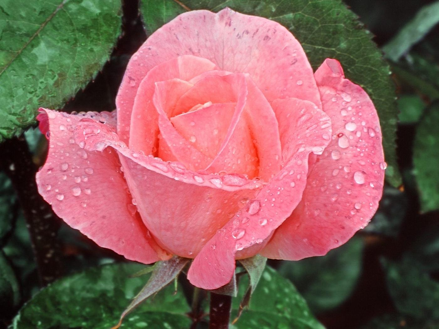 46381 скачать обои Растения, Цветы, Розы - заставки и картинки бесплатно