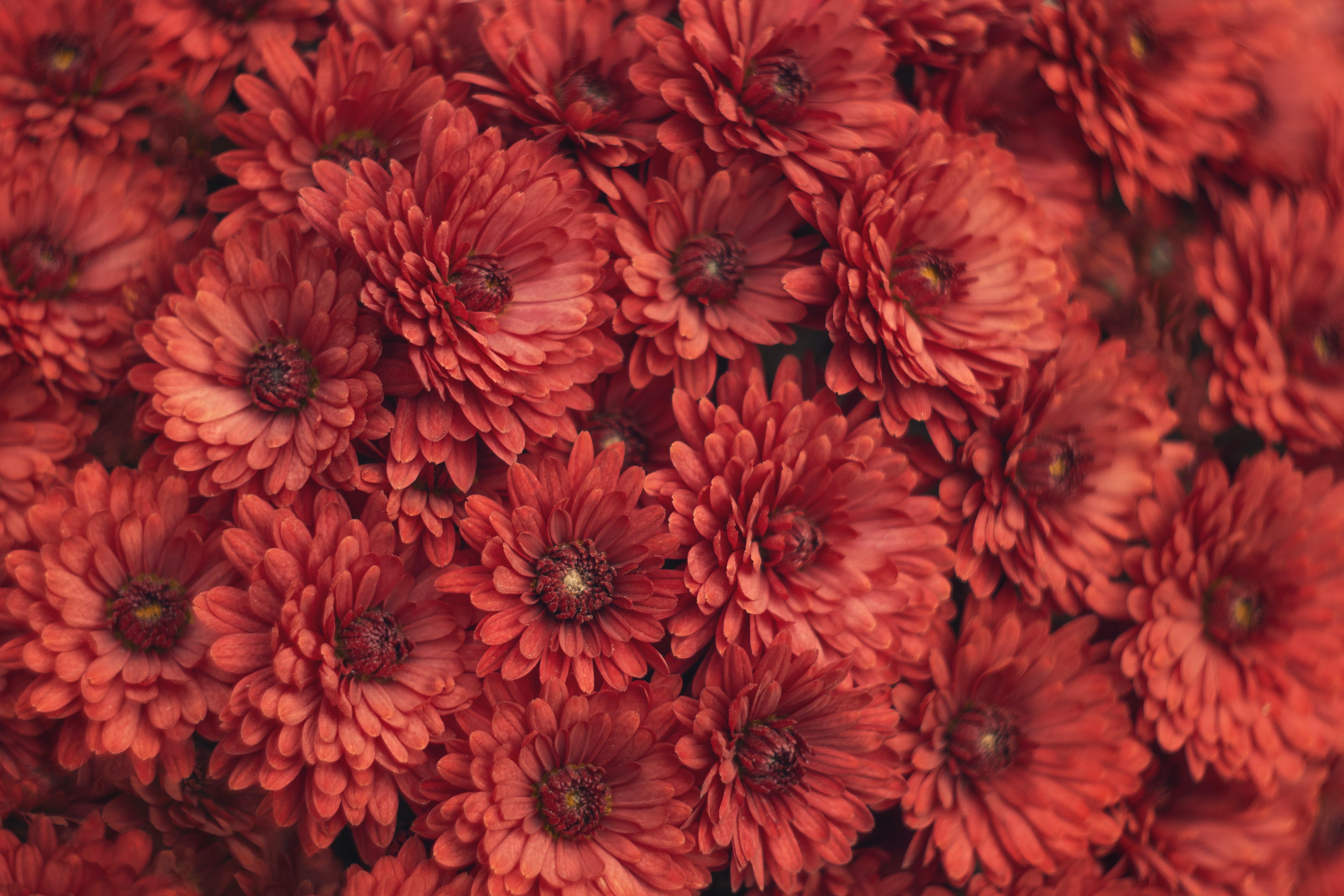 117699 скачать обои Цветы, Красный, Макро, Хризантемы - заставки и картинки бесплатно