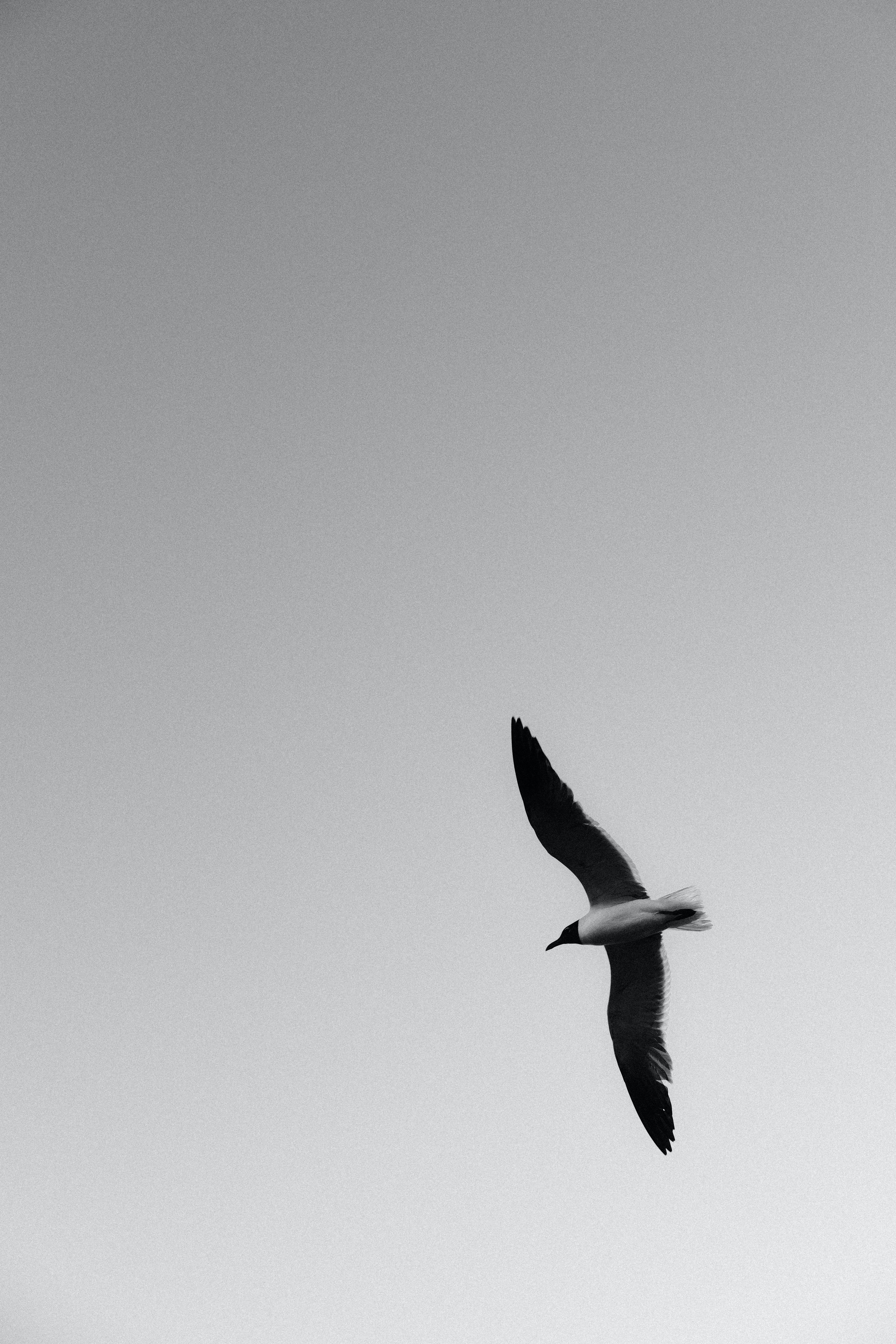 105383 download wallpaper Animals, Gull, Seagull, Bird, Bw, Chb, Wings, Flight screensavers and pictures for free