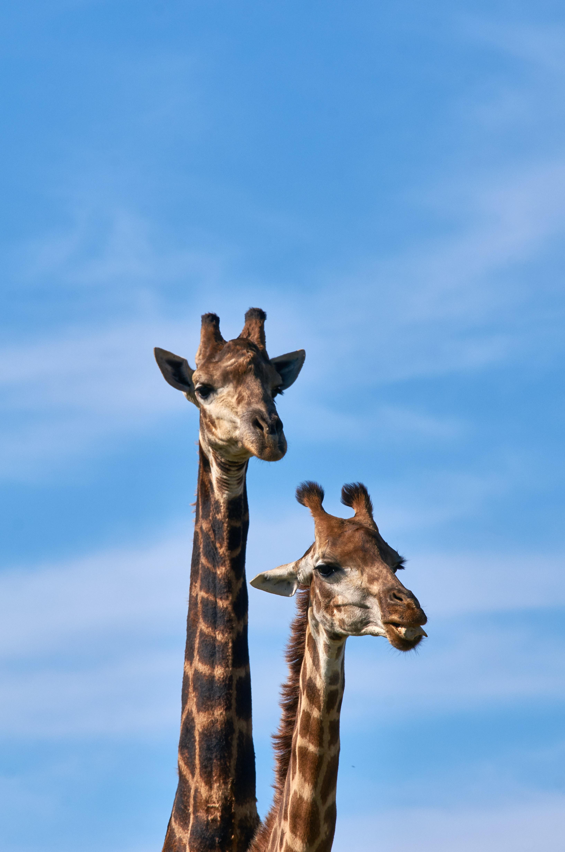58534 免費下載壁紙 动物, 长颈鹿, 长颈 屏保和圖片