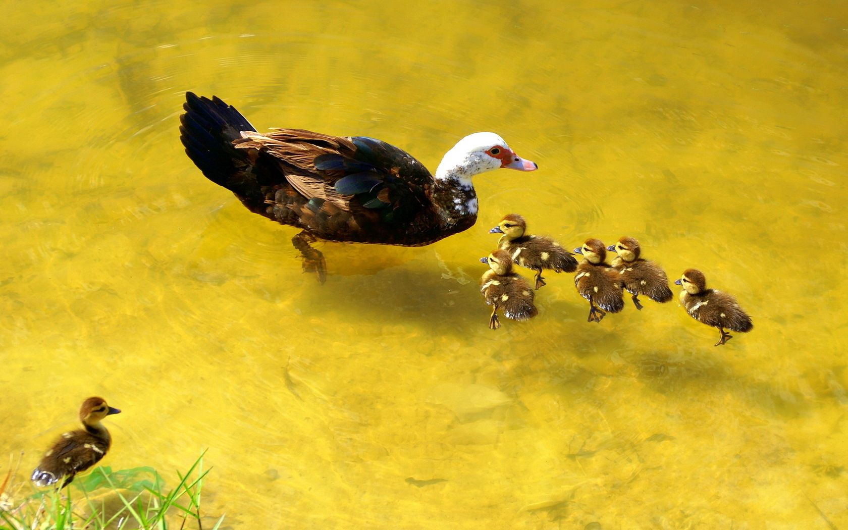 148666 download wallpaper Animals, Duck, Lake, Nature, To Swim, Swim, Ducklings, Care screensavers and pictures for free