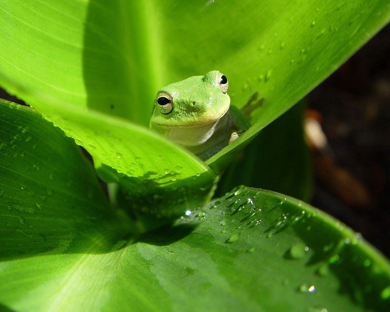 142798 download wallpaper Animals, Frog, Sheet, Leaf, Drops, Color screensavers and pictures for free