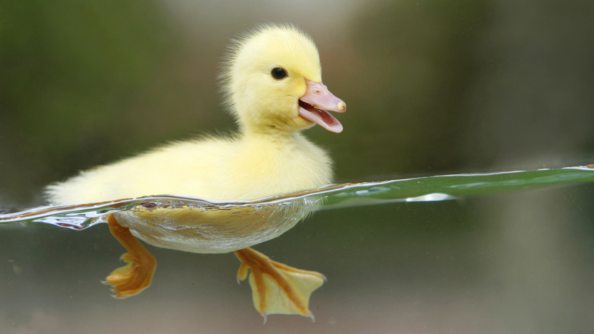 136557 download wallpaper Animals, Duckling, Bird, Water, To Swim, Swim screensavers and pictures for free