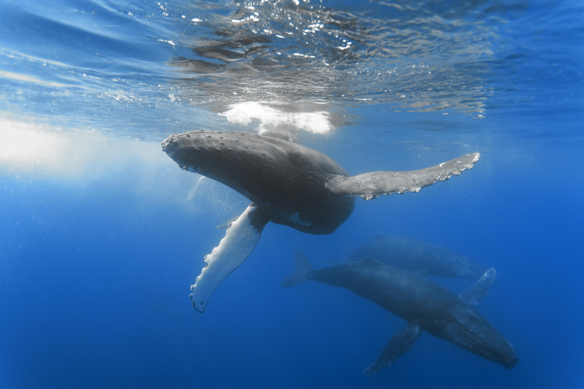 66160 download wallpaper Animals, Ocean, Whale, Depth, To Swim, Swim, Underwater World screensavers and pictures for free