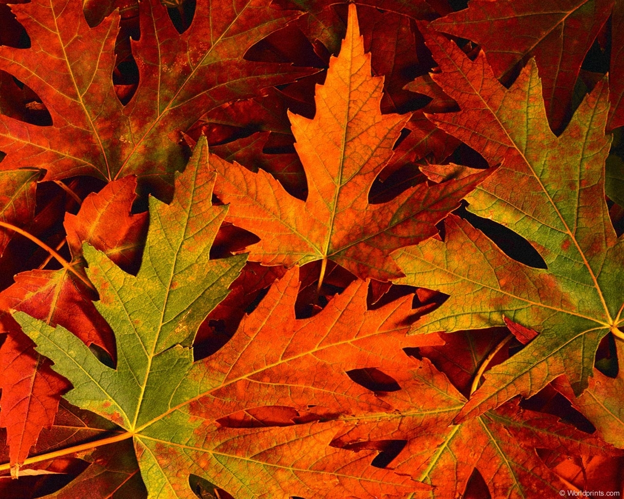 13717 download wallpaper Plants, Background, Autumn, Leaves screensavers and pictures for free