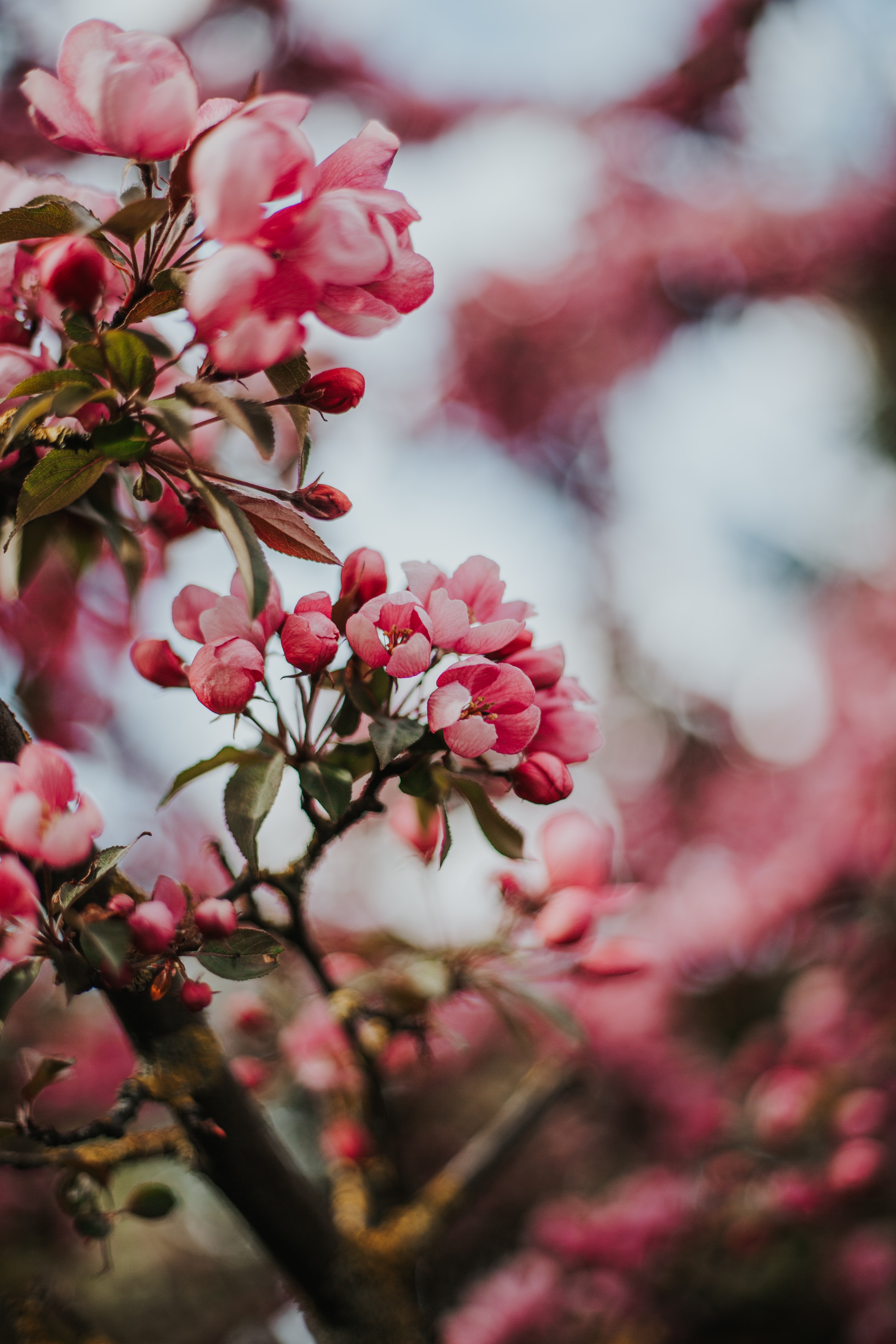 146376 Заставки и Обои Вишня на телефон. Скачать Цветы, Вишня, Сакура, Макро, Розовый картинки бесплатно