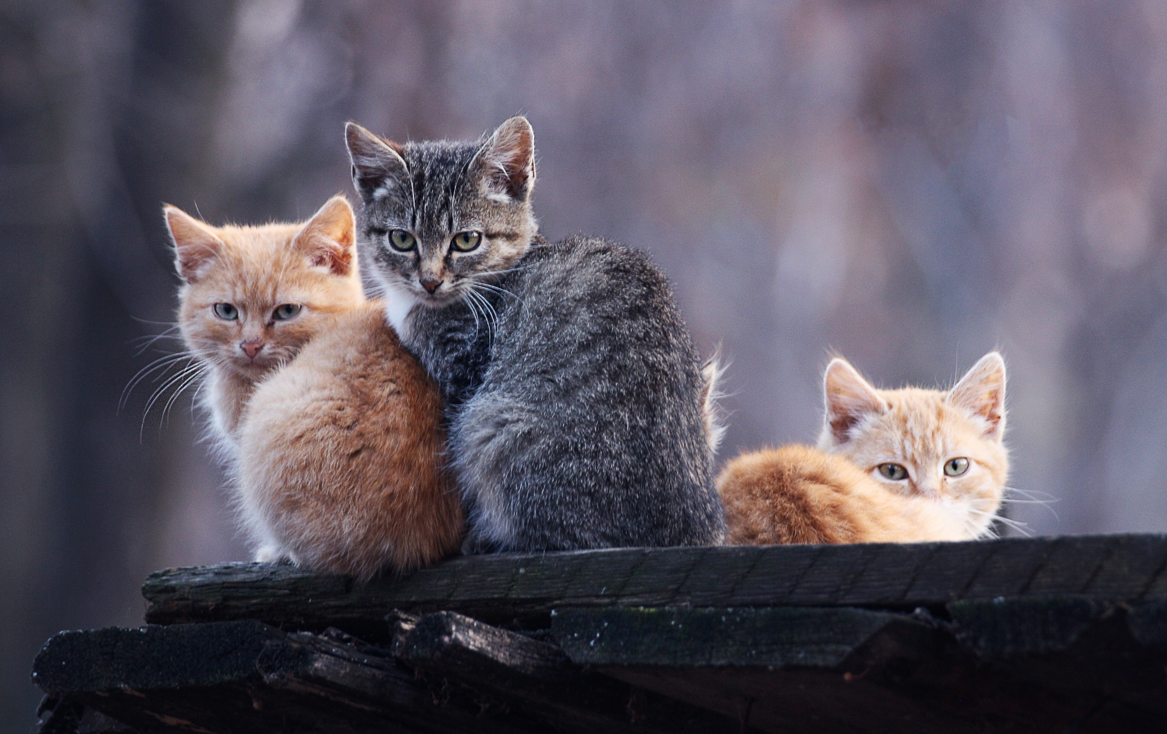 100718 download wallpaper Animals, To Lie Down, Lie, Relaxation, Rest, Three, Kittens screensavers and pictures for free