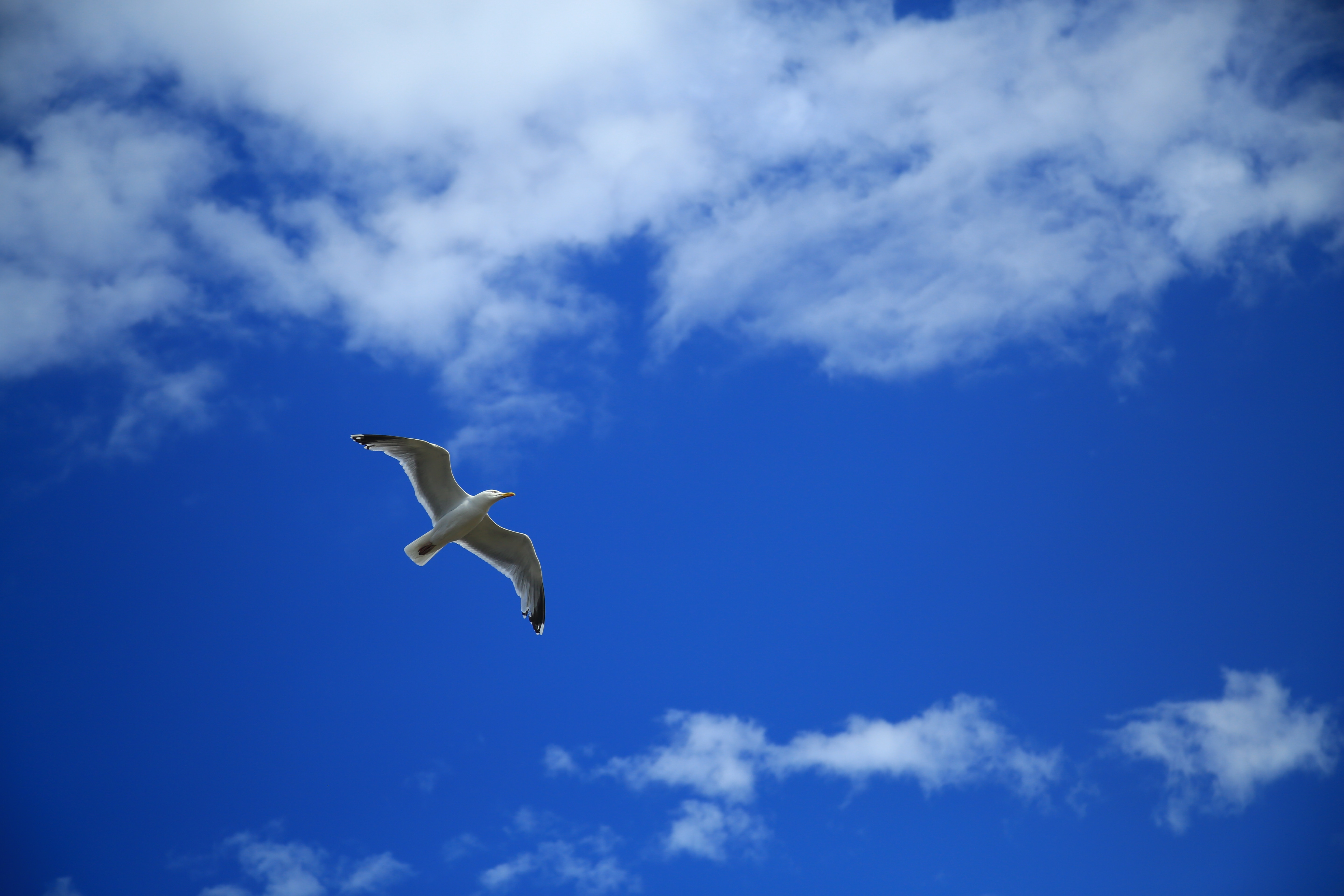129365 download wallpaper Animals, Gull, Seagull, Bird, Sky, Flight, Clouds screensavers and pictures for free