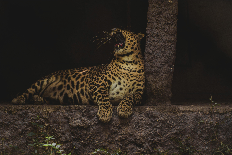 62521 download wallpaper Animals, Leopard, Zev, Throat, Big Cat, Wildlife, Predator screensavers and pictures for free