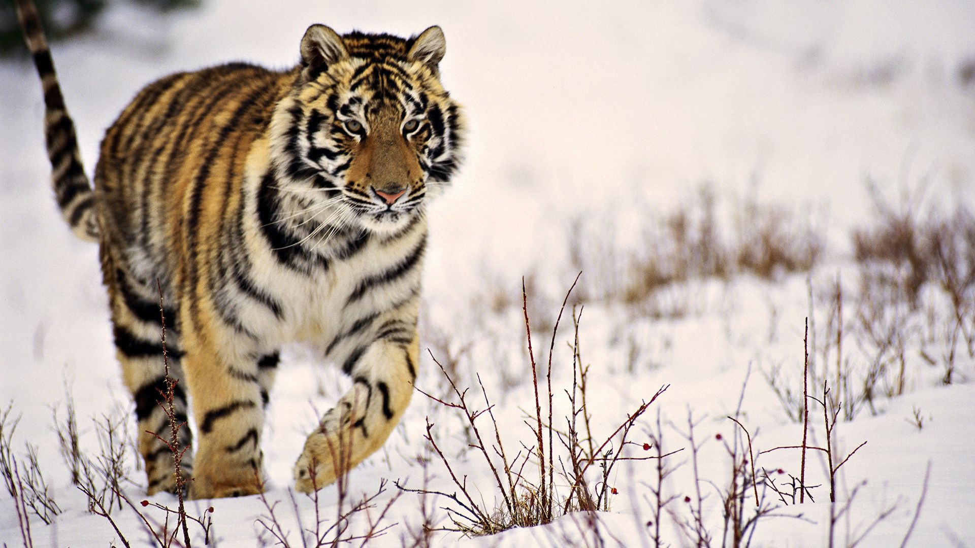 84133 download wallpaper Animals, Tiger, Grass, Stroll, Predator, Snow screensavers and pictures for free