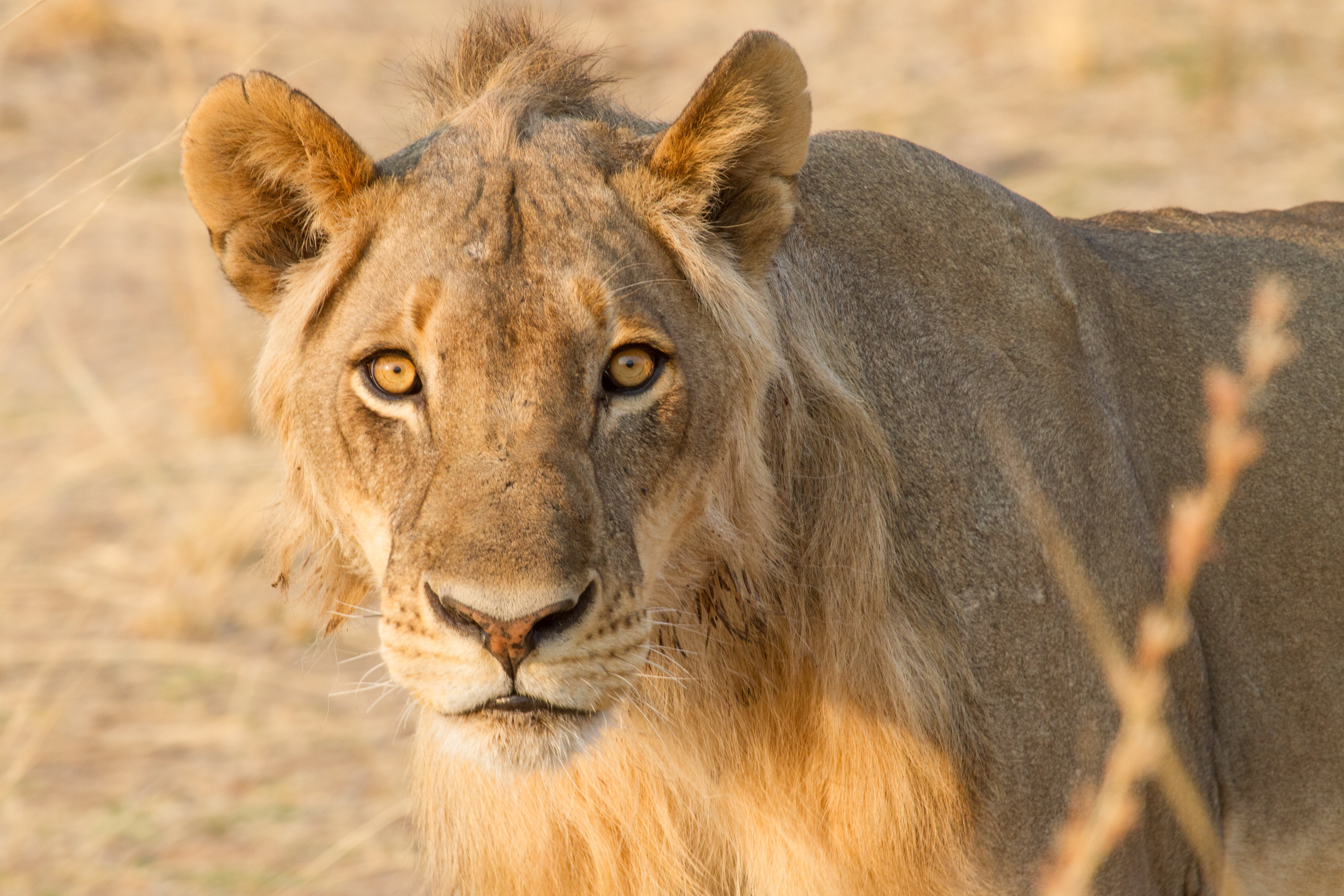 154136 download wallpaper Animals, Lioness, Mustache, Moustache, Predator, Ears screensavers and pictures for free