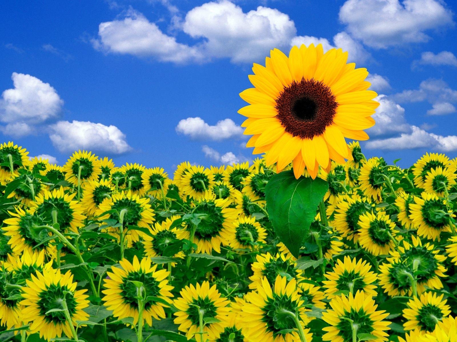 1186 скачать обои Растения, Подсолнухи, Небо - заставки и картинки бесплатно