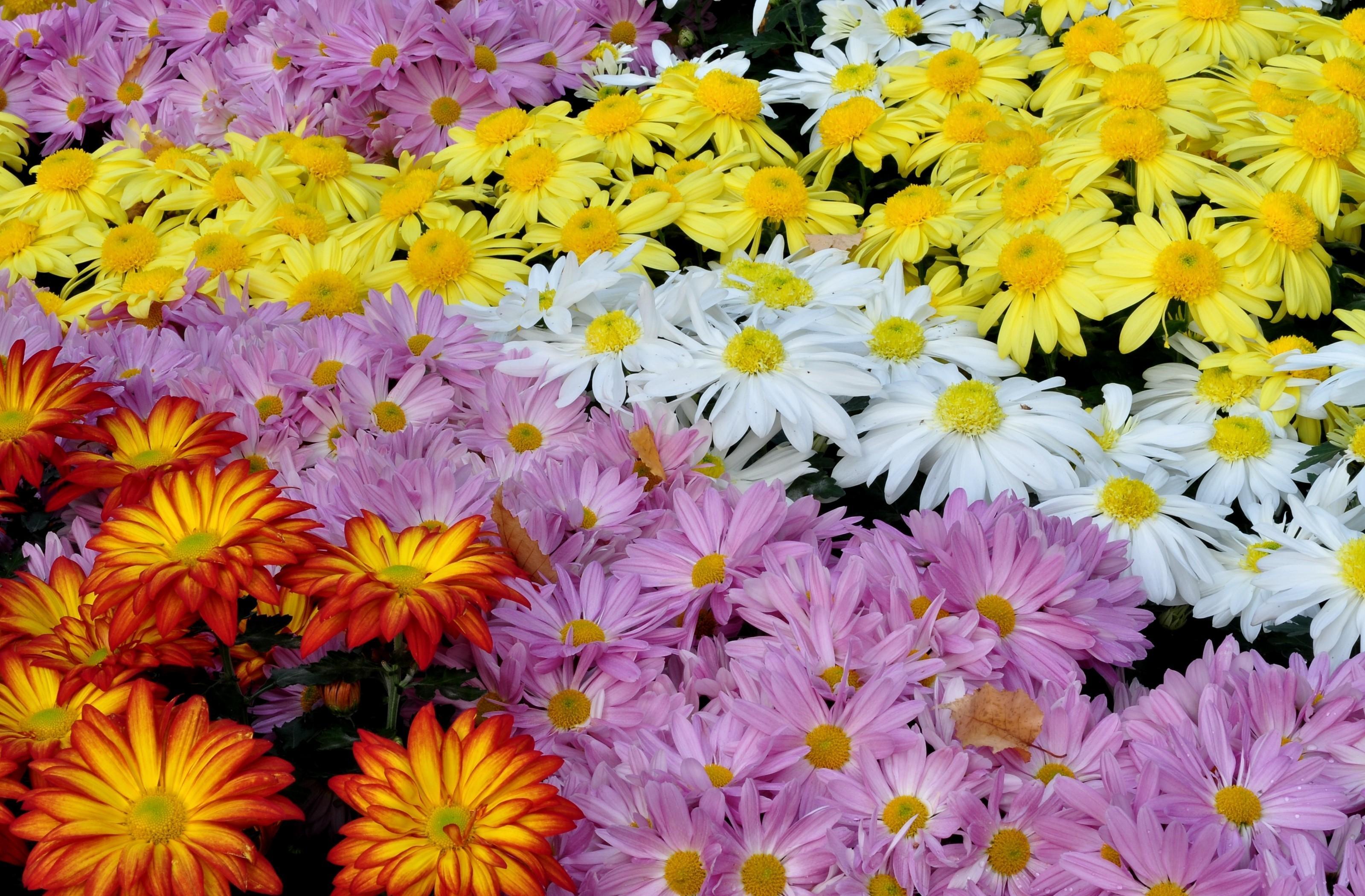 155909 скачать обои Цветы, Яркие, Разнообразие, Множество, Хризантемы - заставки и картинки бесплатно