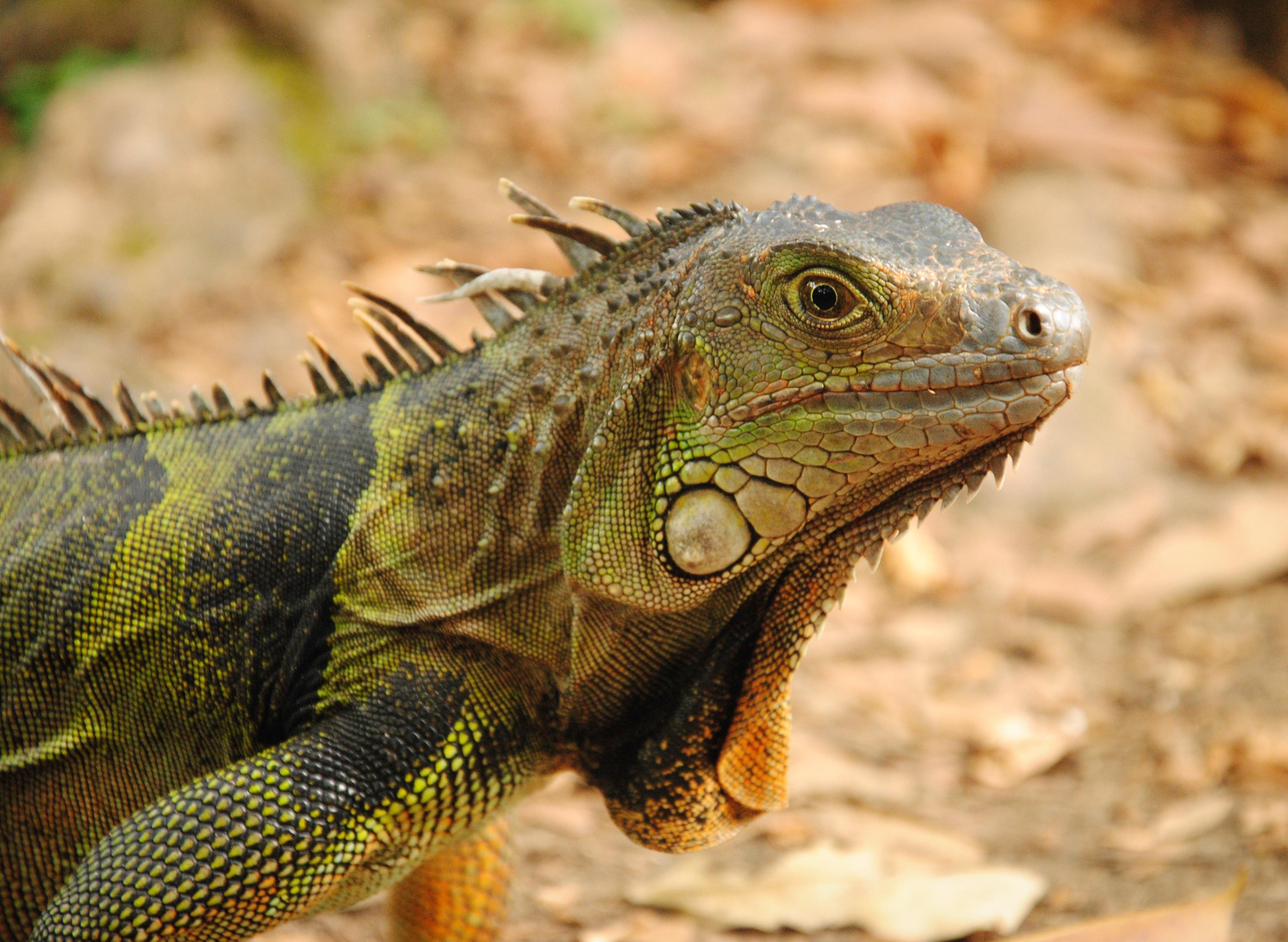 59663 Hintergrundbild herunterladen Tiere, Eidechse, Reptil, Reptile, Leguan, Iguana - Bildschirmschoner und Bilder kostenlos