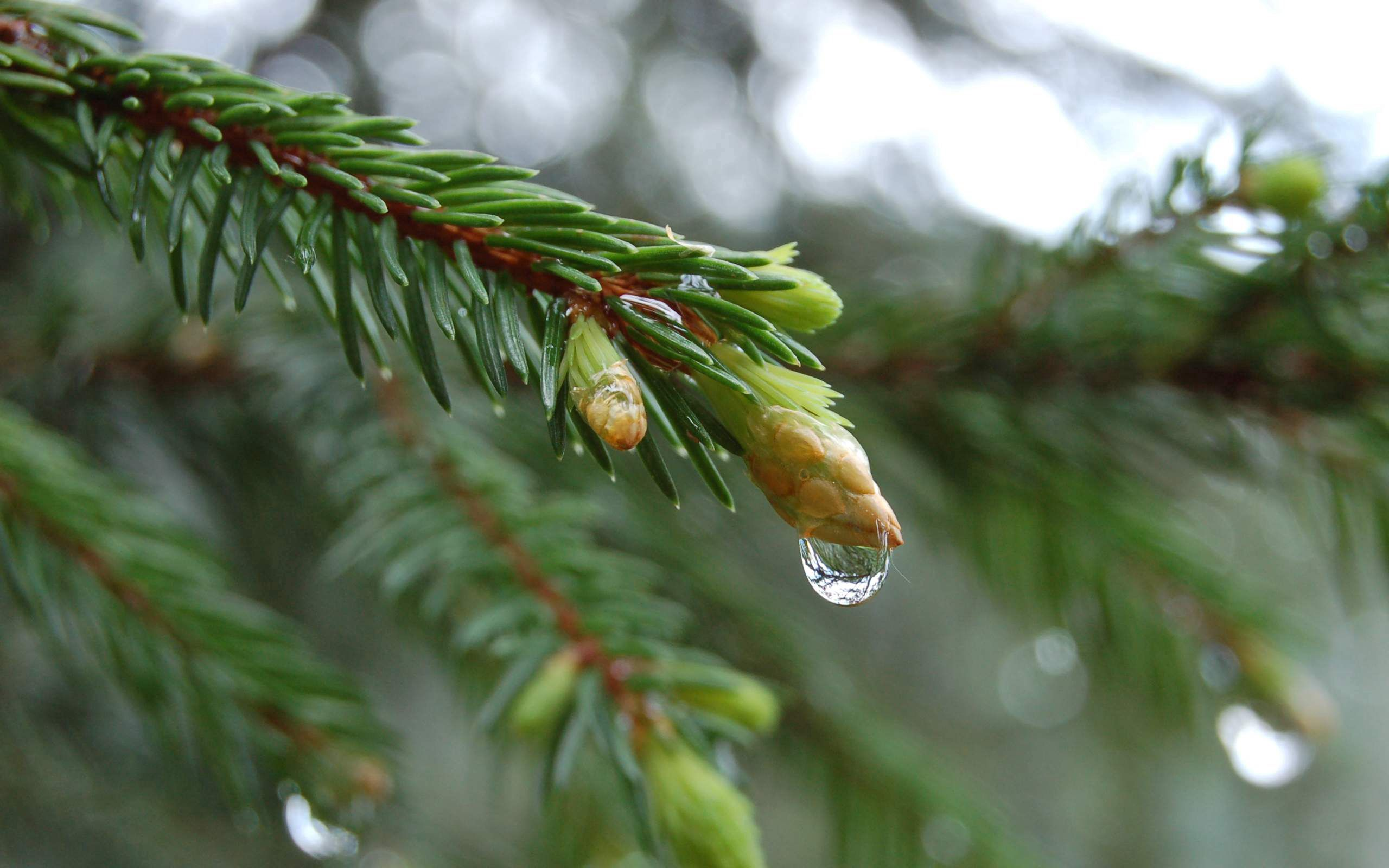 153915 Screensavers and Wallpapers Spruce for phone. Download Macro, Branch, Spruce, Fir, Drop pictures for free