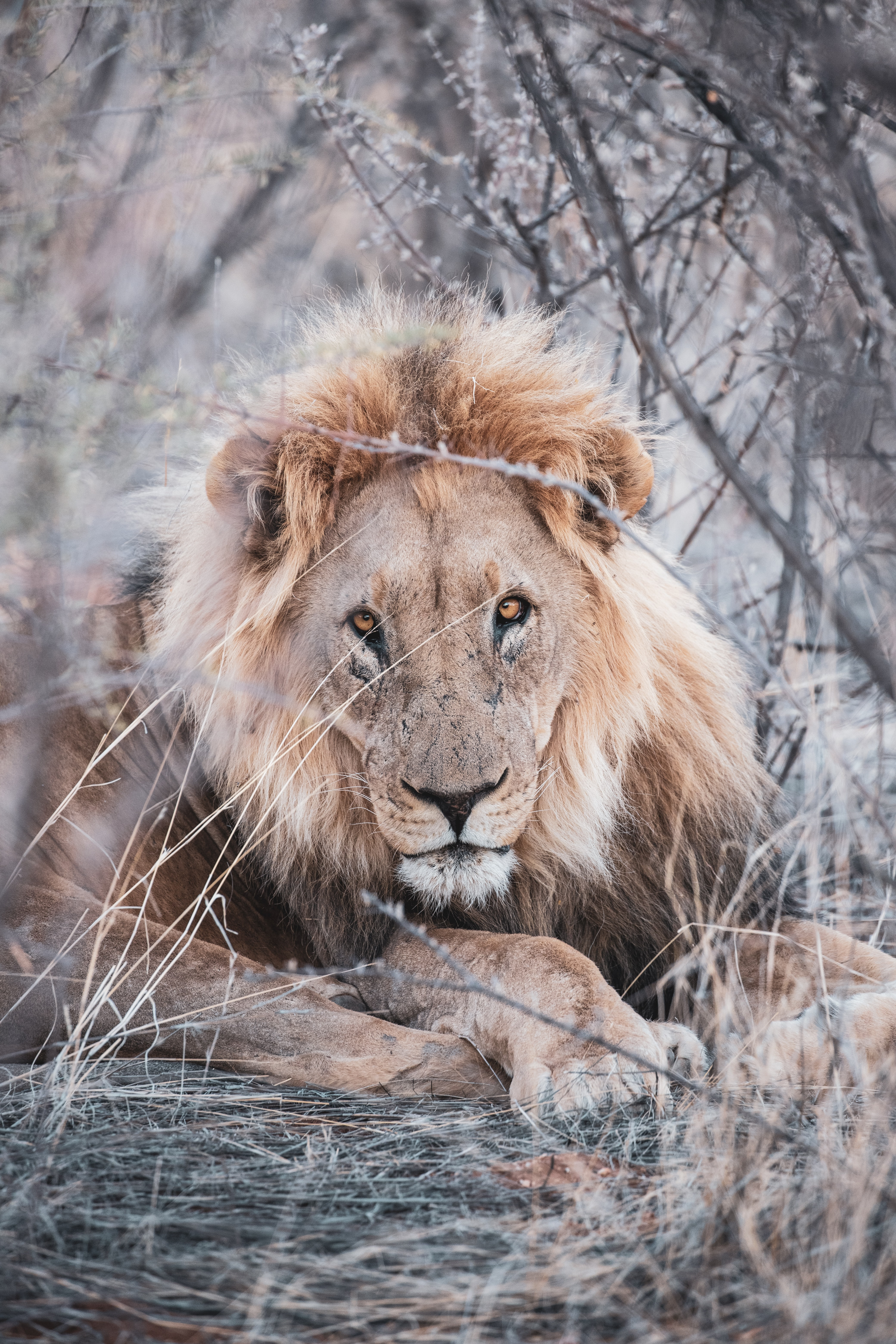 138438 download wallpaper Animals, Lion, Animal, Predator, Wildlife, Branches screensavers and pictures for free