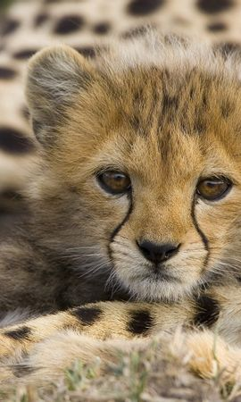 5049 download wallpaper Animals, Leopards screensavers and pictures for free