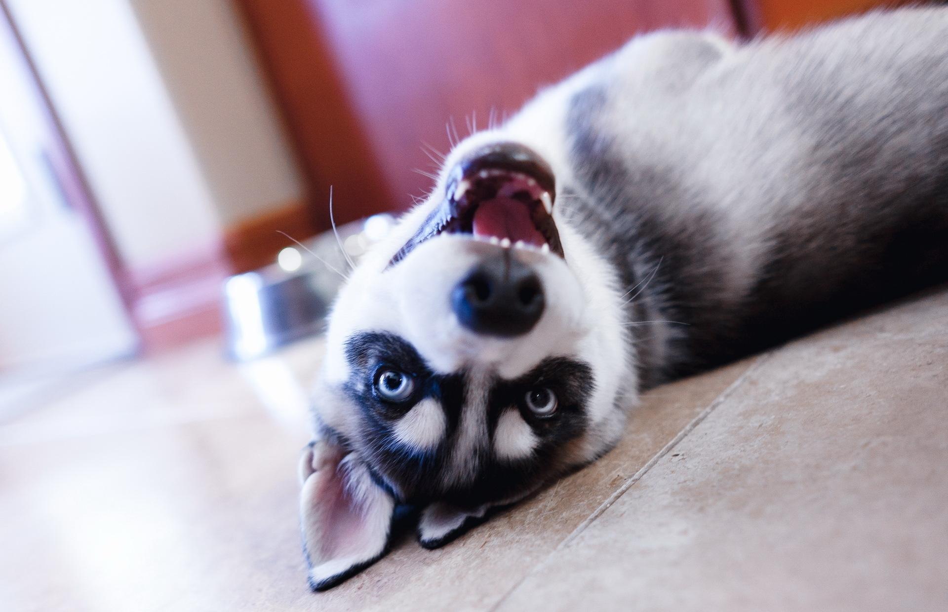 151007 Screensavers and Wallpapers Puppy for phone. Download Animals, Lies, Dog, Muzzle, Eyes, Sight, Opinion, Puppy, Husky pictures for free