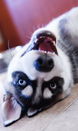 151007 download wallpaper Animals, Husky, Dog, Puppy, Muzzle, Eyes, Sight, Opinion, Lies screensavers and pictures for free