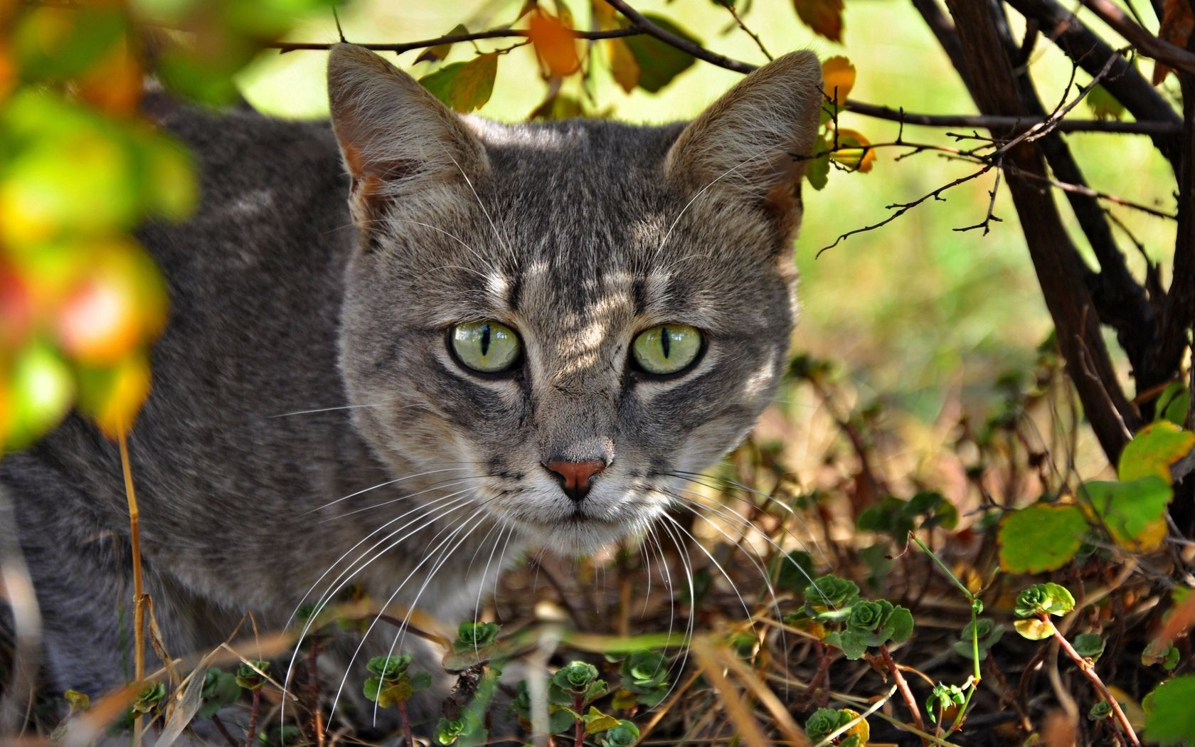104329 download wallpaper Animals, Cat, Muzzle, Grass, Hunting, Hunt screensavers and pictures for free