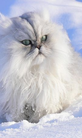 6602 download wallpaper Animals, Winter, Cats, Snow screensavers and pictures for free