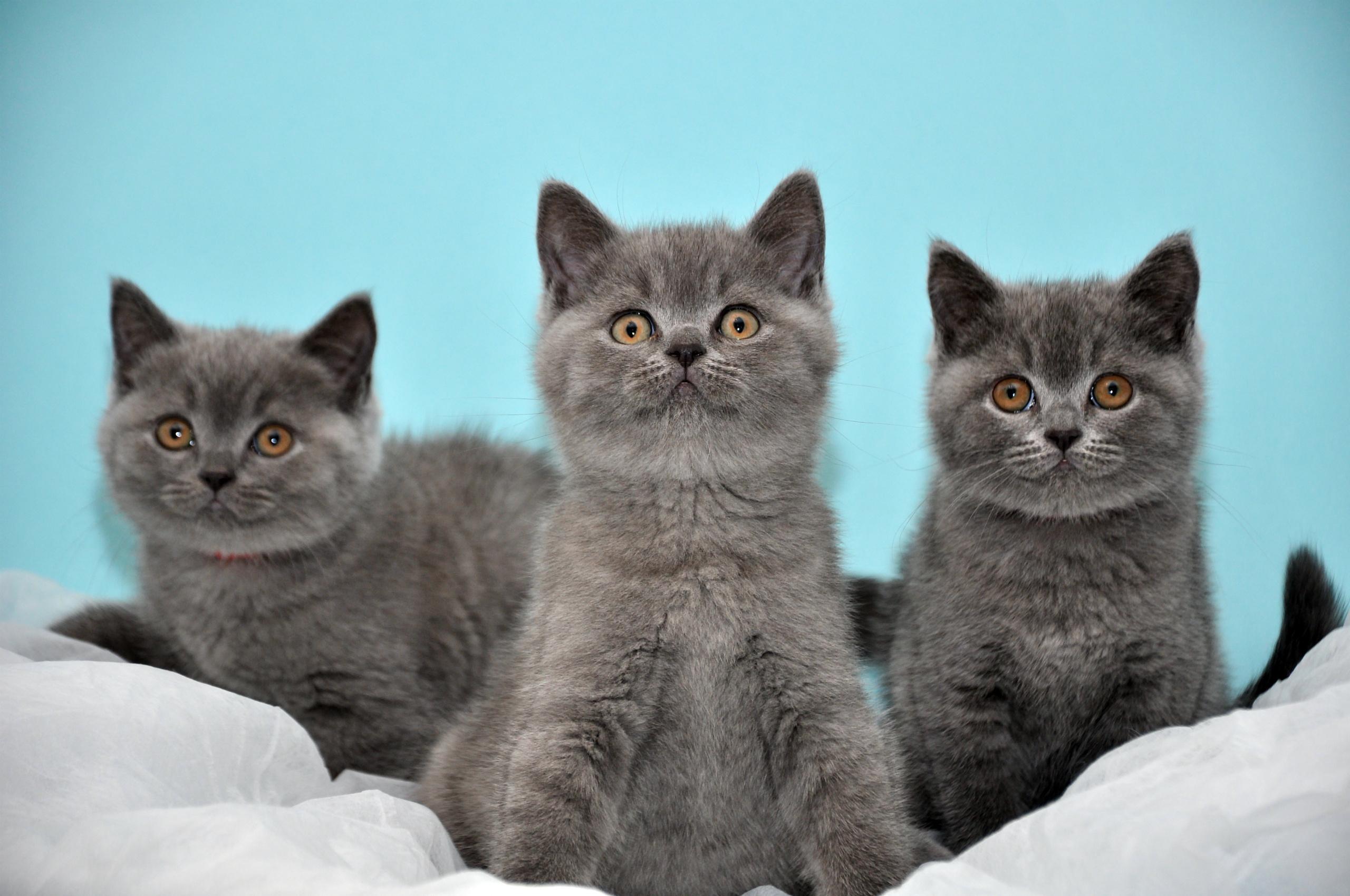 106605 скачать обои Животные, Котята, Три, Красивые, Британцы - заставки и картинки бесплатно