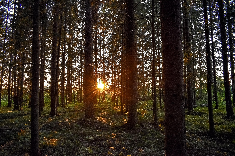 132628 Hintergrundbild 128x160 kostenlos auf deinem Handy, lade Bilder Natur, Bäume, Sunset, Balken, Strahlen, Wald, Sonnenlicht 128x160 auf dein Handy herunter