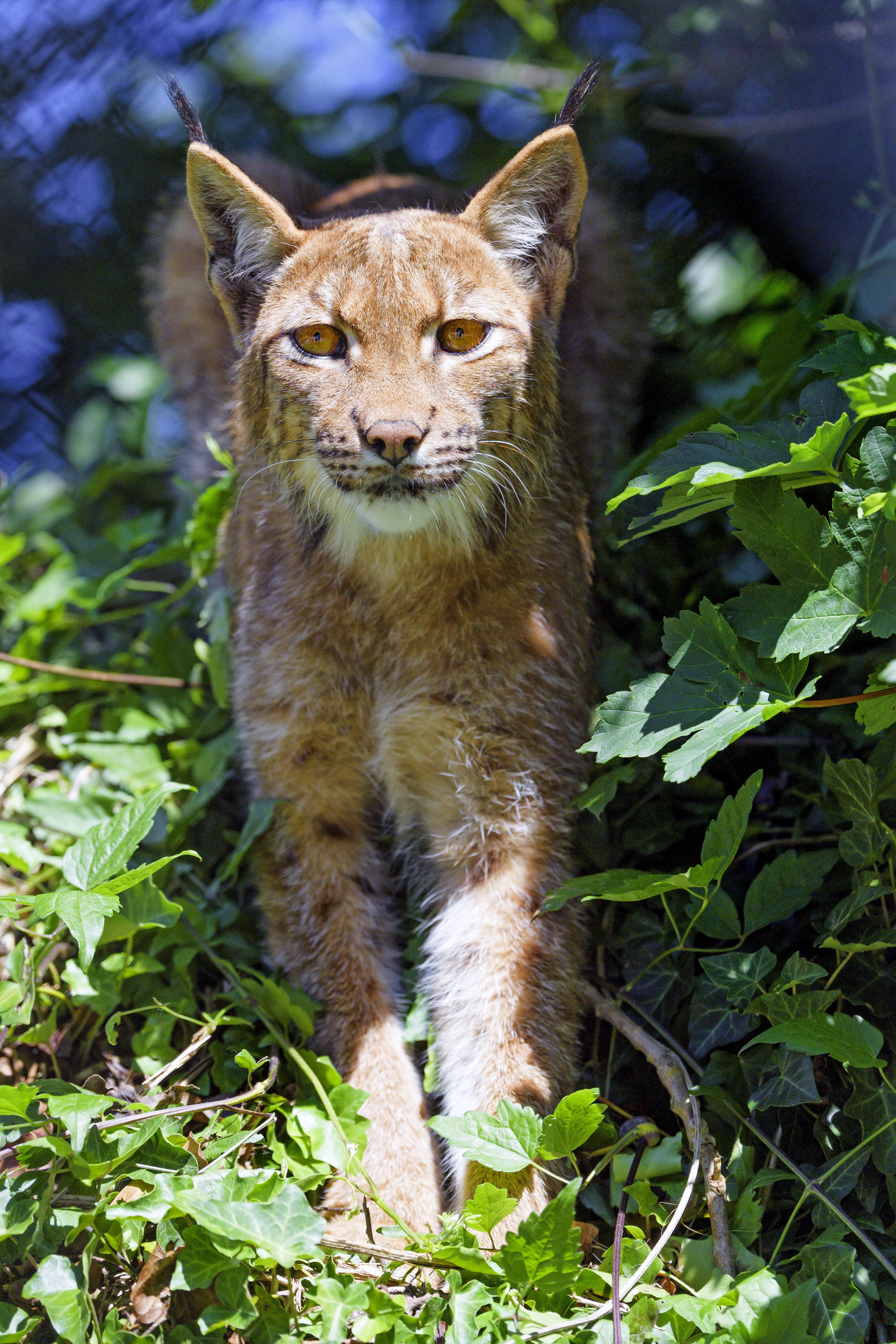 100289 скачать обои Животные, Ирис, Большая Кошка, Взгляд, Животное, Трава - заставки и картинки бесплатно